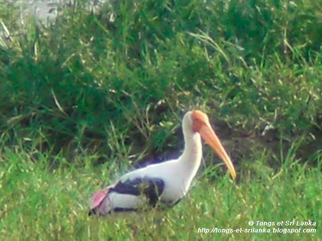 les oiseaux de Yala au Sri Lanka