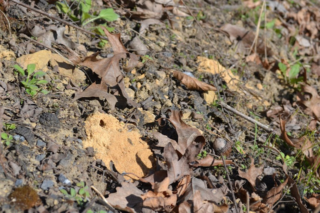Mining bee burrows