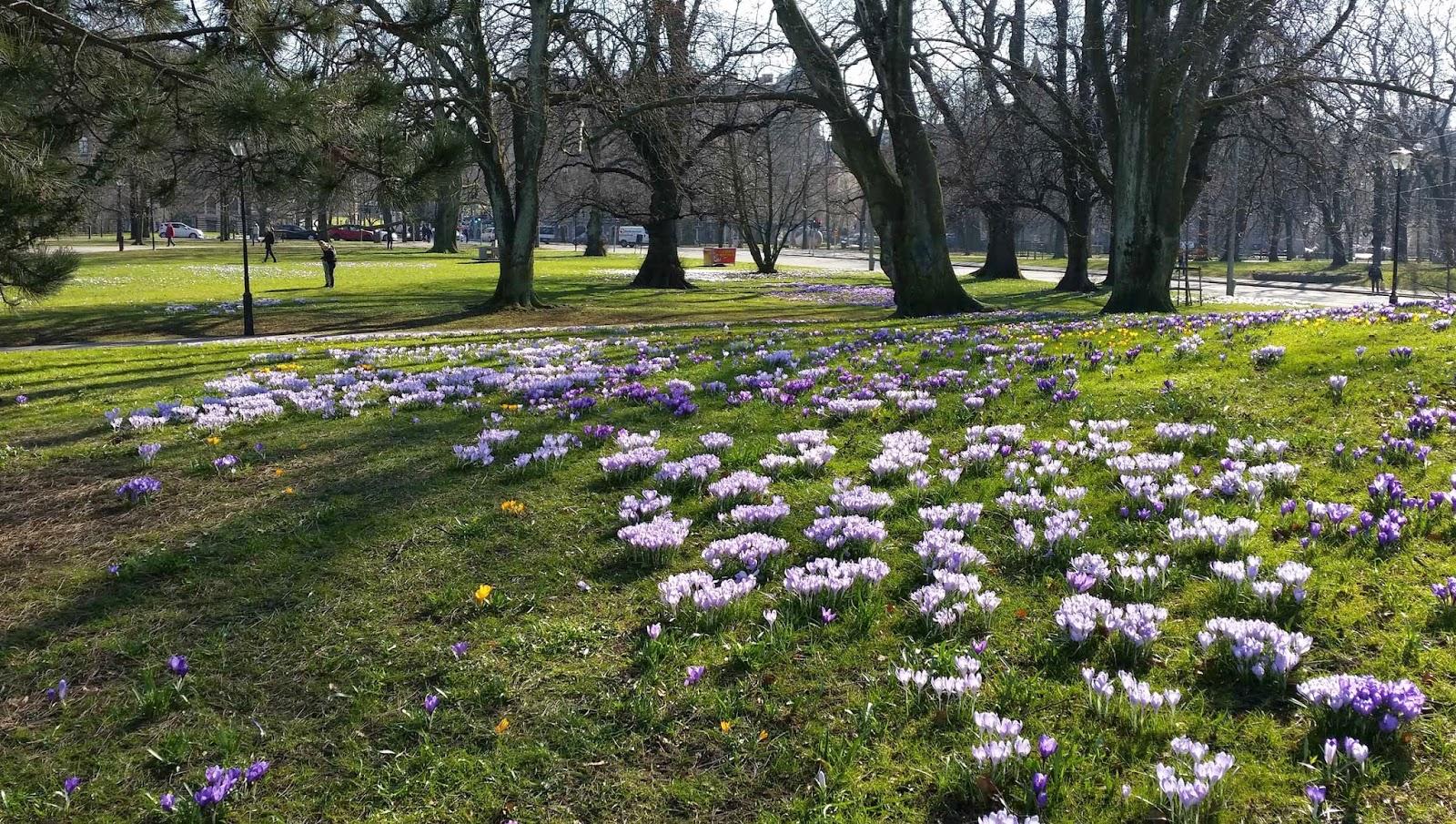 Krokusblomning i Kungsparken, Göteborg