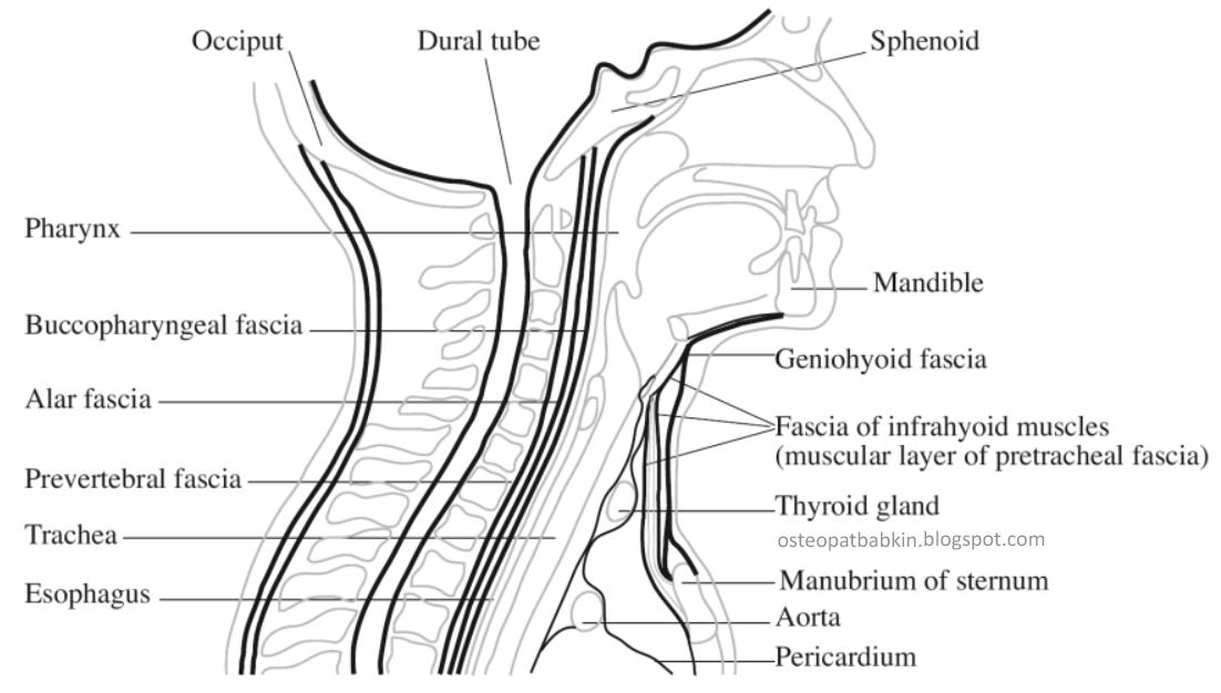 фасции шеи fascia cervicalis