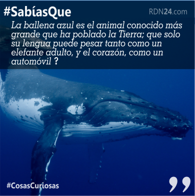 Sabías que la ballena azul es el animal conocido más grande que ha poblado la Tierra; que solo su lengua puede pesar tanto como un elefante adulto, y el corazón, como un automóvil ?