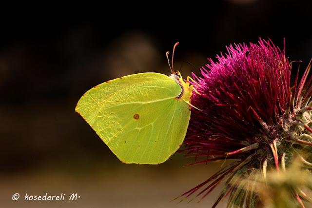 Çiçeğe konmuş bir kleopatra kelebeği fotoğrafı