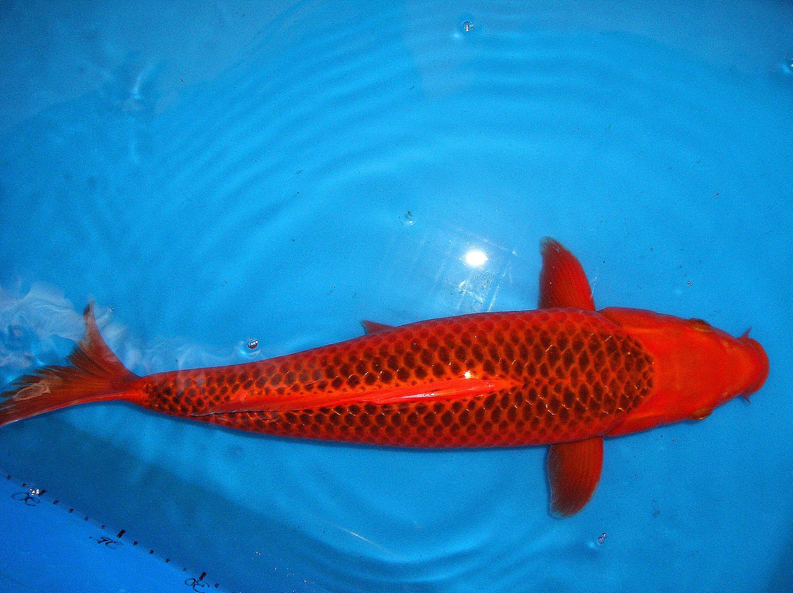 Zenkoi marketing imported japanese carp koi fish for Koi carp farm