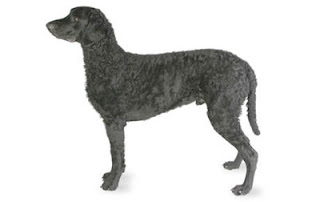 Curly Coated Retriever Dog 3
