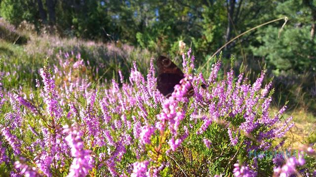 butterfly on Torra Lövö
