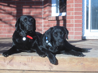 Black lab Dallas and black lab puppy Romero, who is quickly catching up to Dallas in size, are lying side by side out on the back deck enjoying a bit of sunshine. Romero wears a blue and gray Blue Jays collar, and Dallas wears a red leather collar that has an octagonal metal license tag that is reflecting the sunlight. Behind the dogs is a wall of the red brick house and a sliding back door with white trim.