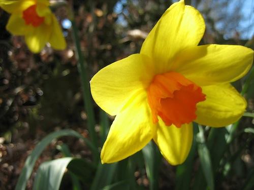 orange and yellow daffodils