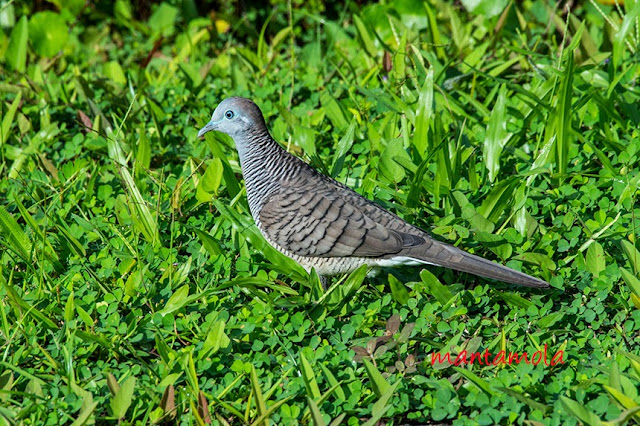 Peaceful Dove, Zebra Dove