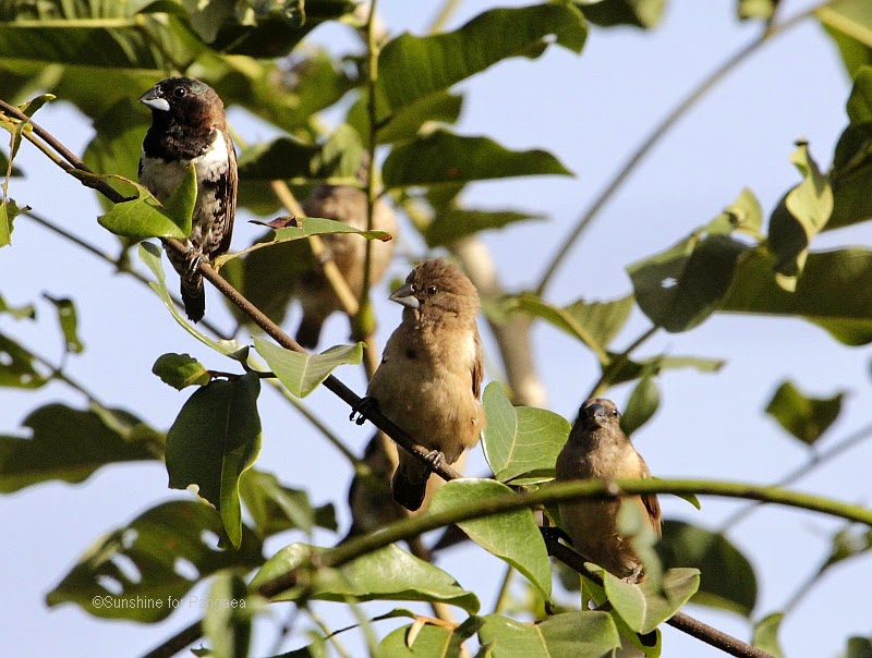 bronze mannikin or bronze munia in the Brufut Forest