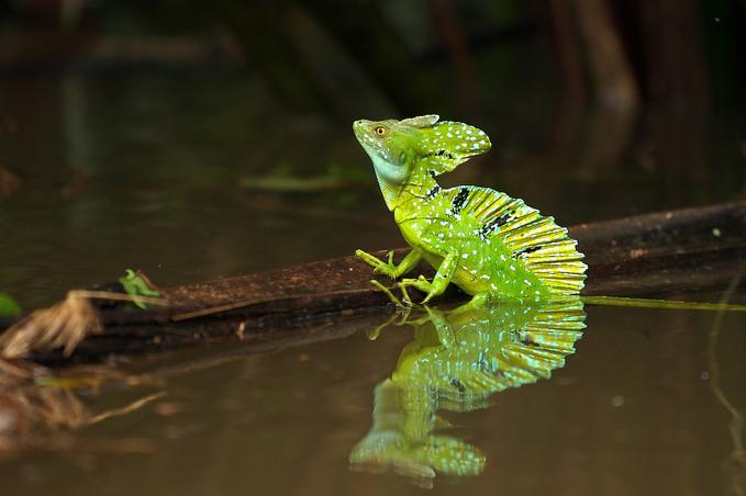 Animals Wallpapers: basilisk lizard