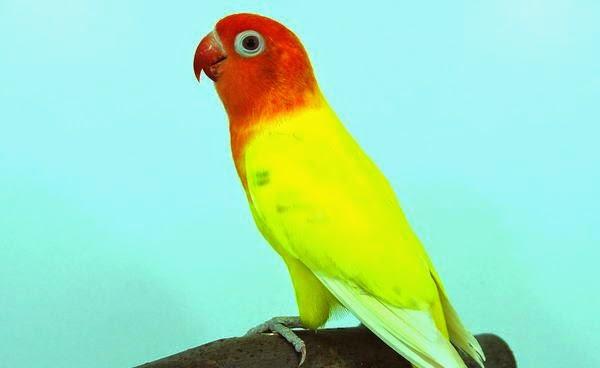 cara-memaster-lovebird_600213