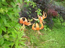 Tiikerinliljat 24 08 2012