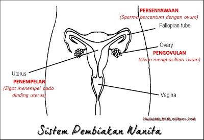 Menganalisa Sistem Pembiakan Wanita : Uterus, Serviks, Tiub Fallopio, Vagina, Ovari