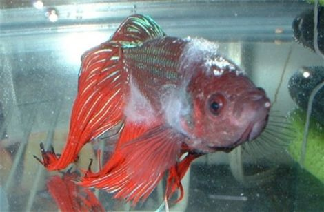 Betta fish awareness day betta fish care betta fish for Fungus in fish tank