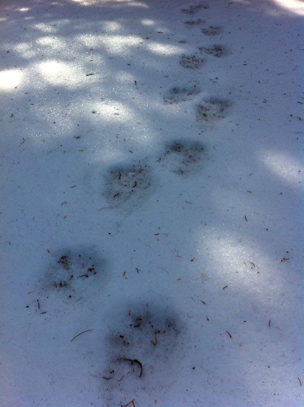 Wolverine Tracks In Snow