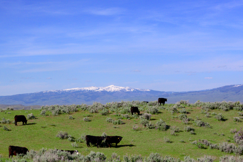 Idaho cattle
