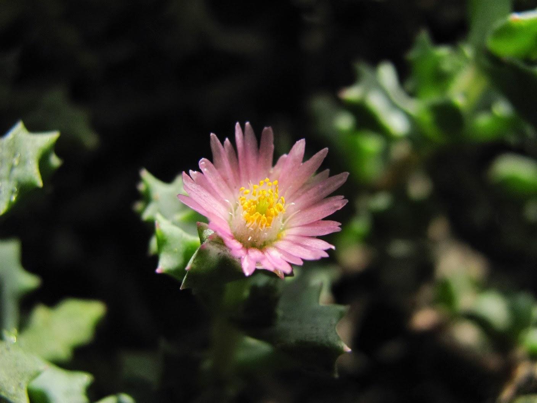 Flor de Oscularia deltoides | Karnosas - Cactus y Suculentas