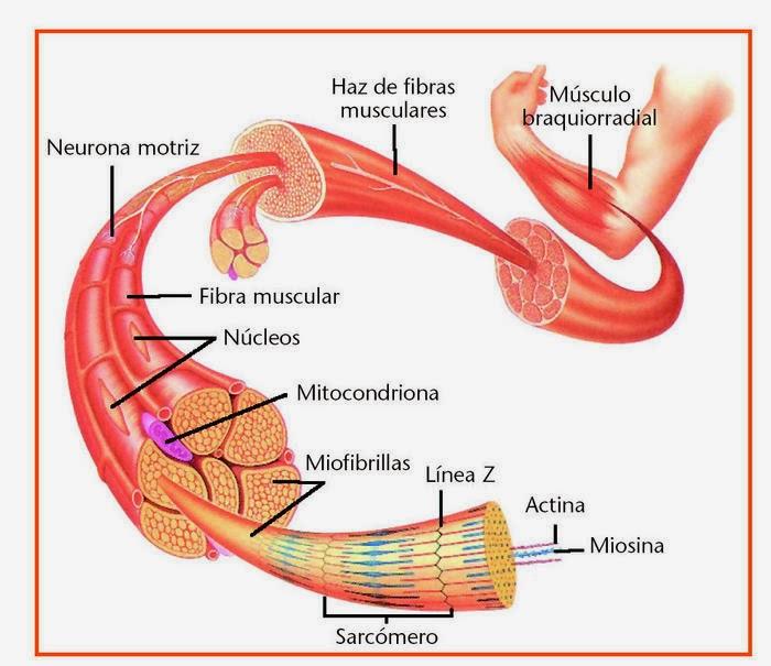 tipos de celula de nuestro cuerpo: mayo 2014