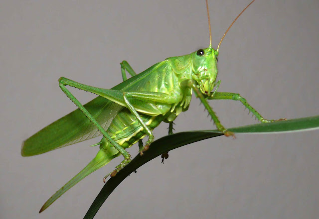 grasshopers have green blood