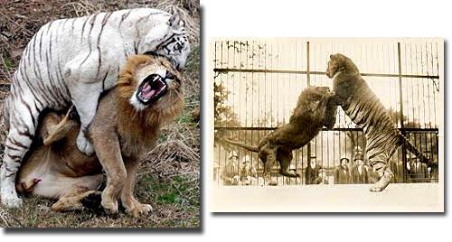 Leões - Tigre maior que leão