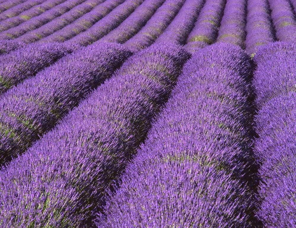 hình nền cánh đồng hoa oải hương đẹp nhất