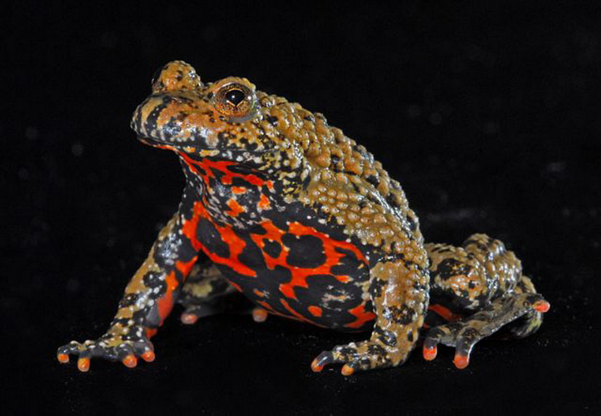 Fire bellied toad animal wildlife fire bellied toad ccuart Choice Image