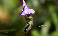 Hummingbird Photo and Picture 22