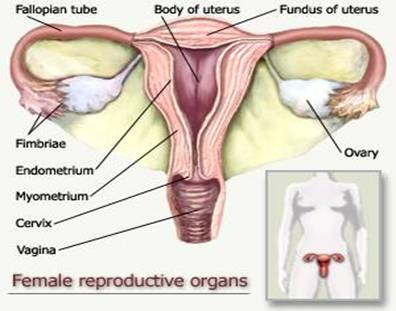 Anatomy and Physiology of Female Reproductive System | Basic ...