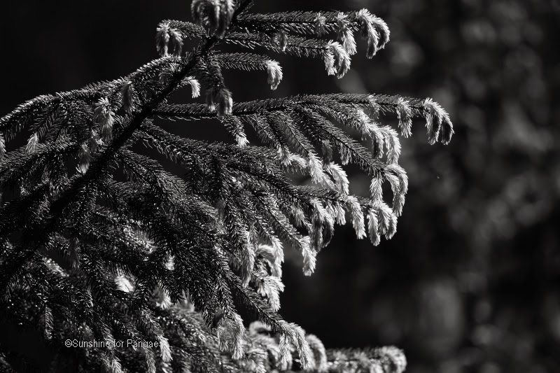 fresh sprouts of a spruce monochrome photography