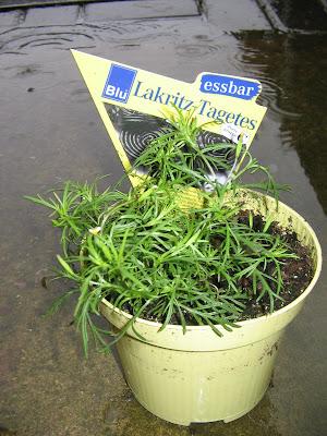 Lakritz-Tagetes. A liquorice tasting herb