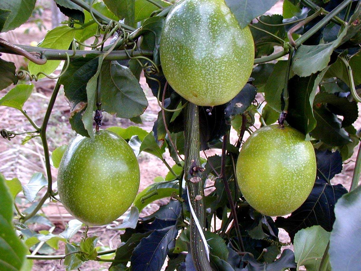 """plantas jardim nordeste:PAPO VERDE: Maracujá, na língua tupi, quer dizer """"alimento dentro da"""