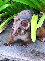 January 3: Ringtail possum