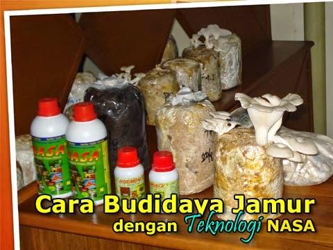 Cara Budidaya jamur Tiram dengan menggunakan teknologi NASA