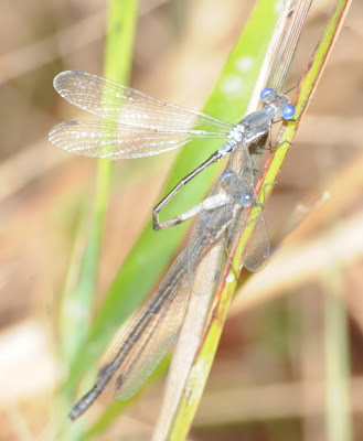 Spotted Spreadwing (Lestes congener)