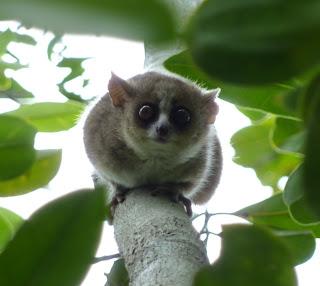 lemuri del madagascar
