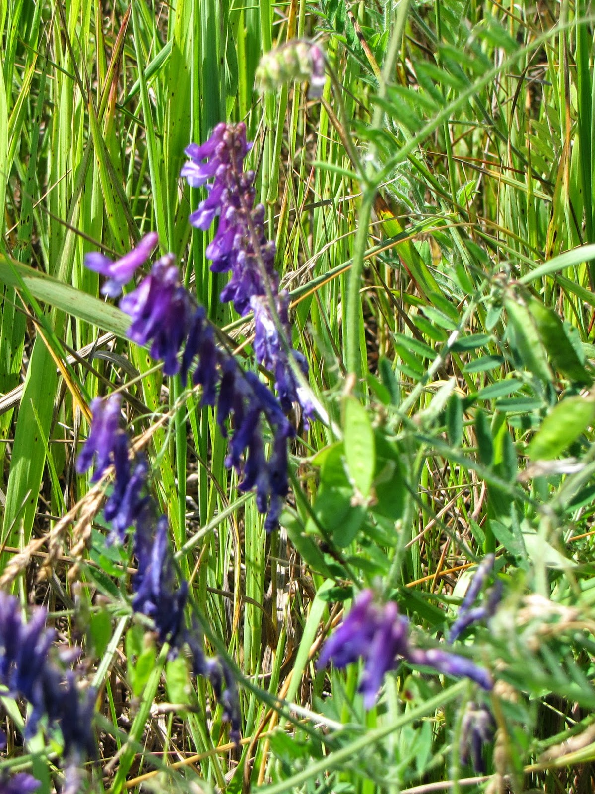 hairy vetch blossoms