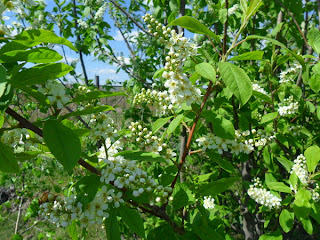 черемуха цветет