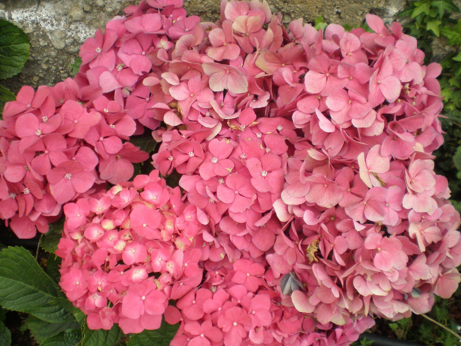 Cadalso vive disfruta todo el a o de tus hortensias - Como secar hortensias ...