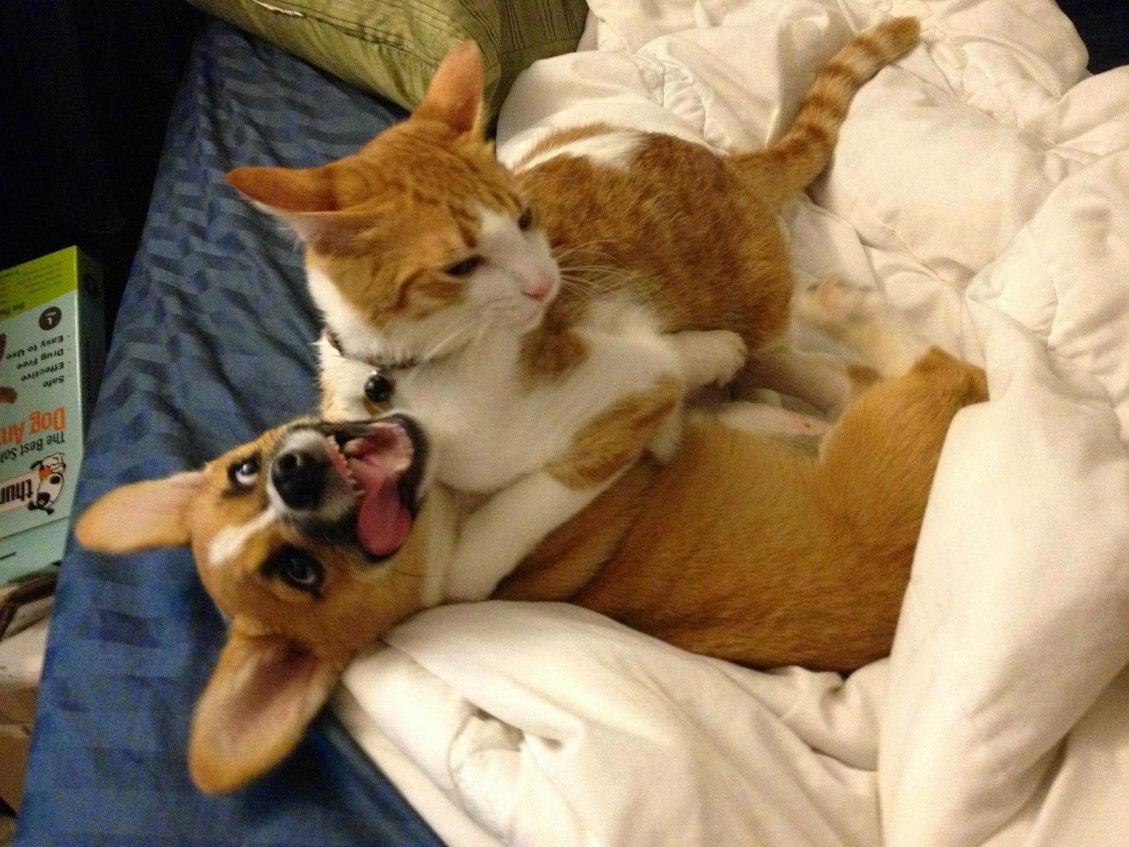 cat and corgi are best friends, cute corgi pictures, inter species friends pictures