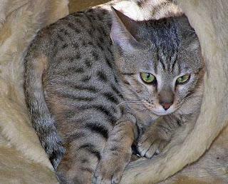 maine coon cat price range