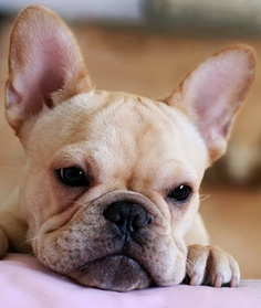 Temperament and Personality of French Bulldog
