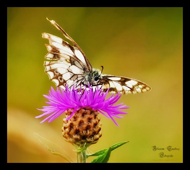 Ein Schachbrett Schmetterling der der Nektar von einer Distelblüte trinkt