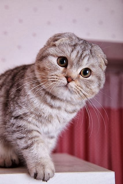 Scottish Fold Cat Temperament,Personality and Grooming