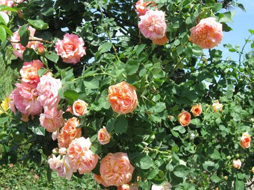 Vaalean oransseja ja punaisia ruusuja yhdessä