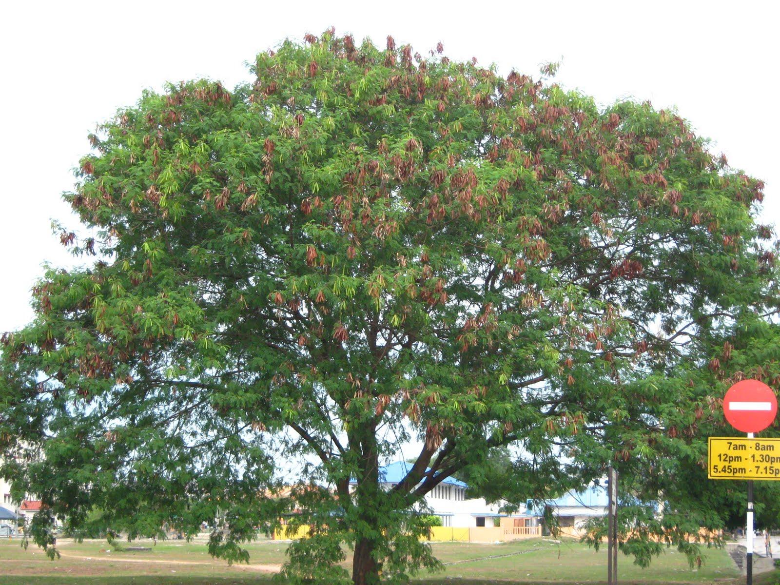 Ongzi39s SecretGarden Leucaena Leucocephala Petai Belalang
