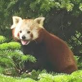pandarosso