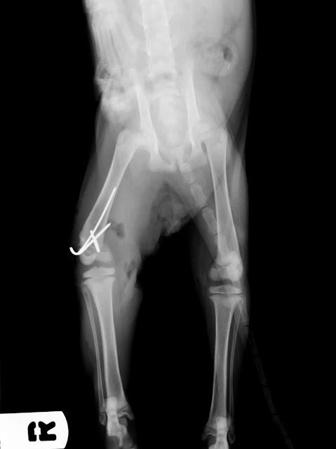 fractura fisis distal gato