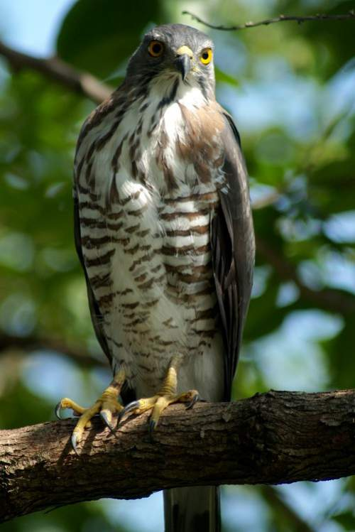 Indian birds - Image of Crested goshawk - Accipiter trivirgatus