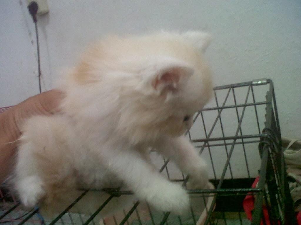 Jasa Penjualan Kucing Persia Si Tabby