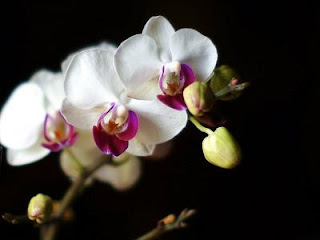 Khasiat Bunga Anggrek